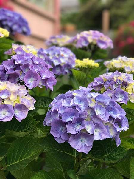 Hydrangea - Yachats Community Garden