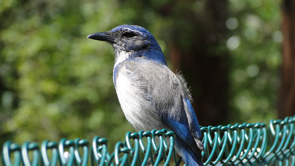 Blue Bird on Fence